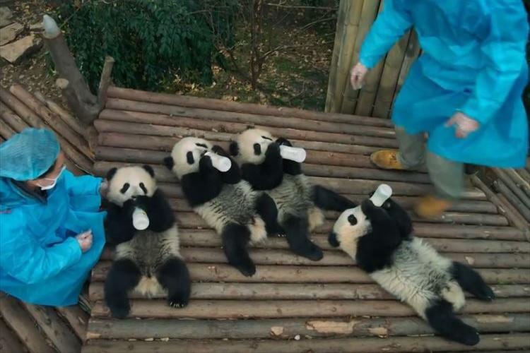 ミルクを飲んだり転んだり…パンダ映画の予告編にパンダの可愛さが凝縮されている!