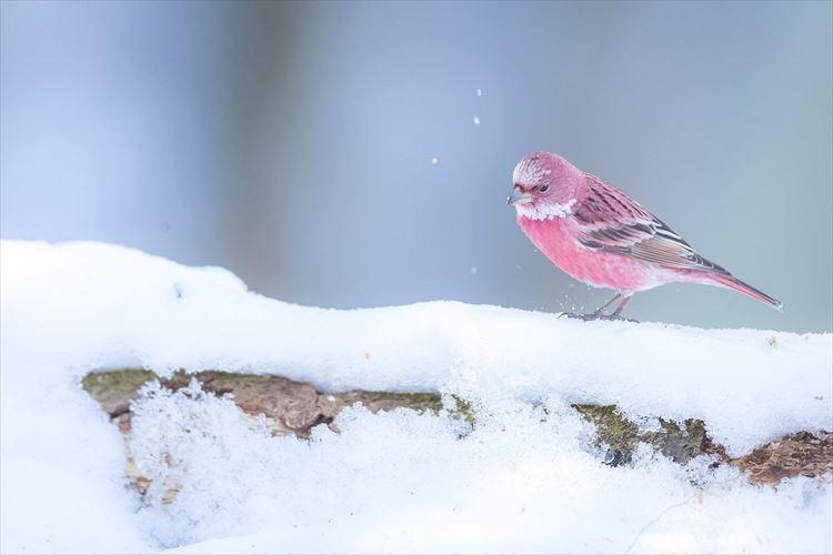 雪に咲く一輪の薔薇のよう…目を奪われるほど美しいオオマシコが話題に