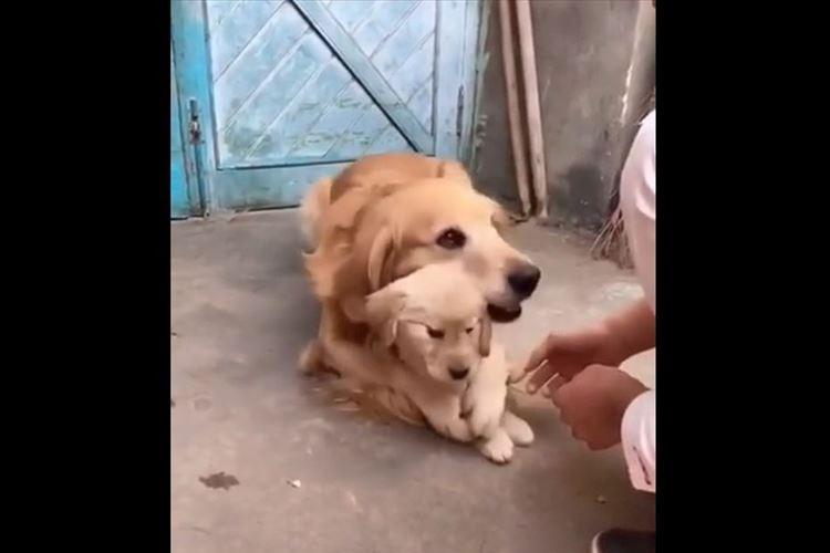 【動画】「愛情が伝わってくるね」子犬をがっちりとガードする母犬