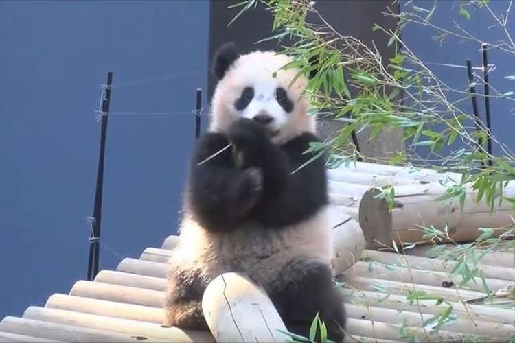 上野動物園のシャンシャンの近況が公開…すってんころりん連発でハートをわしづかみ!