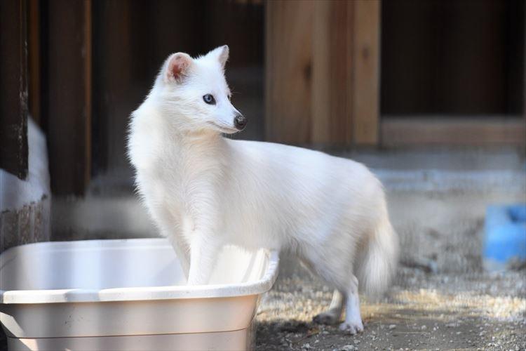 純白すぎて神々しい!大内山動物園で撮影された真っ白なタヌキが話題に
