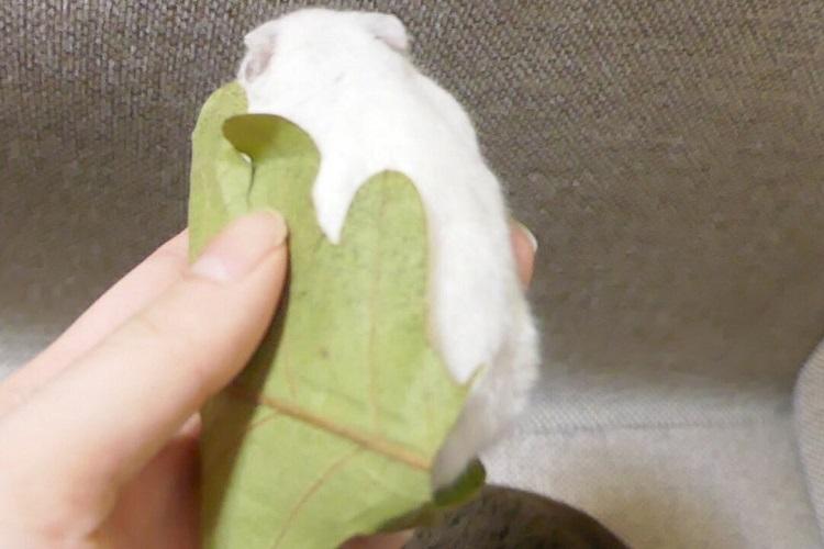 【完全に一致】あのモフモフした可愛い生き物が「柏餅」にめちゃそっくり!