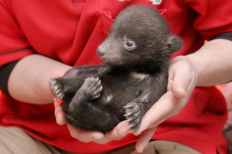 ぬいぐるみにしか見えない!生まれたばかりのツキノワグマの赤ちゃんが可愛すぎる!