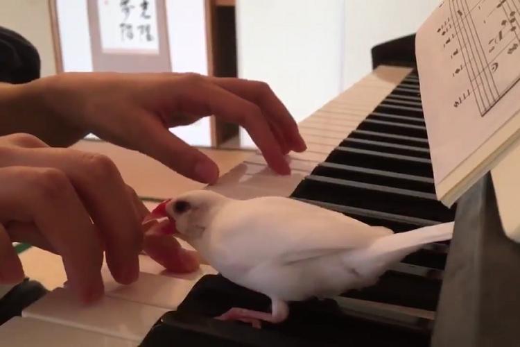「絶対ダメ!!」どうしてもピアノを弾かせてくれない文鳥が可愛い!