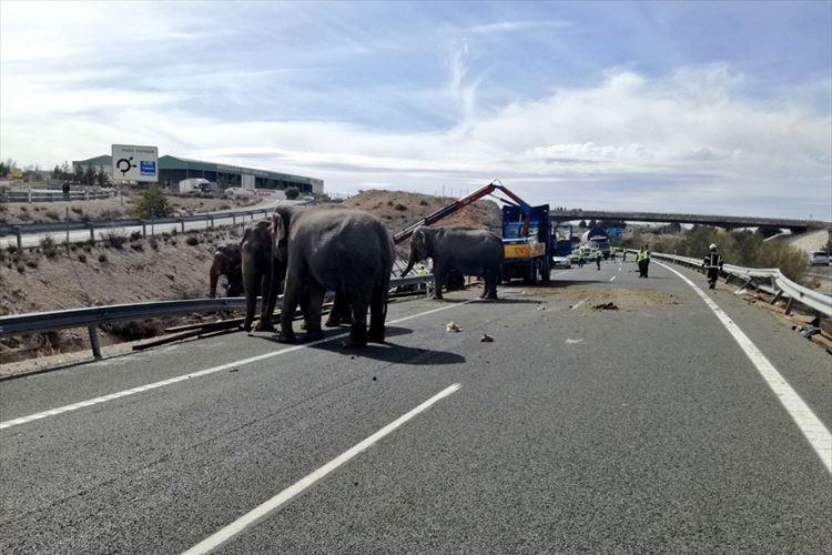 サーカスに出演するゾウを輸送中のトラックが横転する事故…動物保護団体が抗議