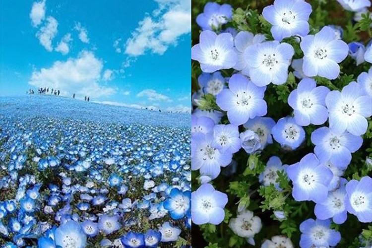 一面を埋めつくす青の絶景!今年もネモフィラの花が見頃に
