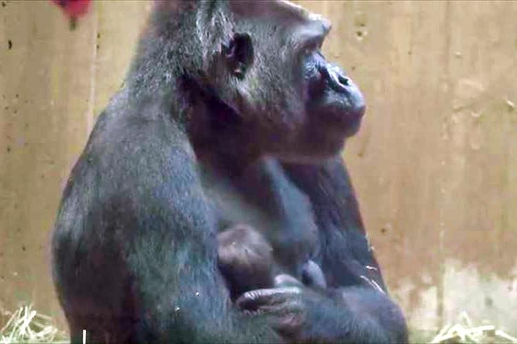 【動画】生まれたばかりの我が子をやさしく抱きしめる…ゴリラの母性愛に感動