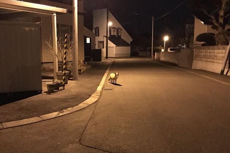 意外なストーカー現る!犬の散歩中、ずっとキタキツネにつけられていた…