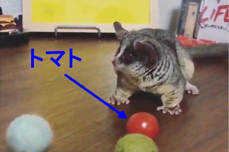 ボール遊びを楽しむ小型猿のピザトルくん、トマトに気付いた時の反応が超カワイイ!