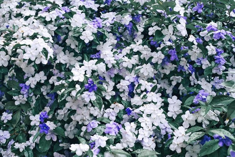 ため息が出るほど美しい!紫から白へ…次第に色が変わっていく不思議な花の正体とは?