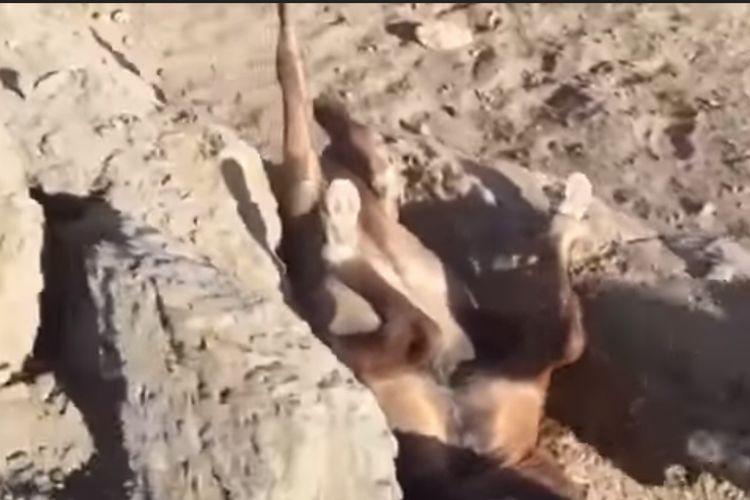 馬が逆さまになって大きな岩に挟まれている…!懸命な救助で見事救出に成功!