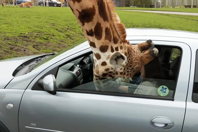 サファリパークでキリンが車に顔を突っ込み、運転手がとっさにとった行動の結果…