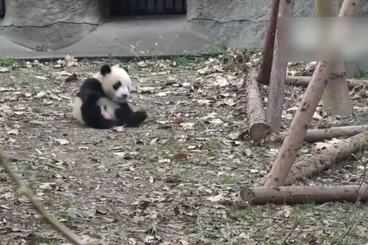 大好きなオモチャを取り上げられたパンダが激おこ!→転がって可愛らしい反抗を見せる