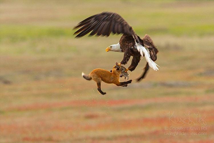 これが自然界の厳しい現実かぁ…キツネと鷲の強奪戦をとらえた写真が話題に