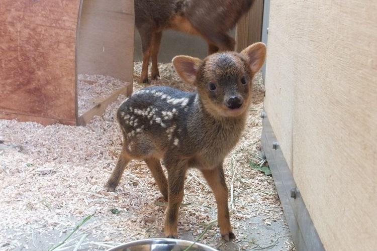 ぬいぐるみじゃないよ。可愛すぎる世界最小の鹿「プーズー」の赤ちゃんが誕生!