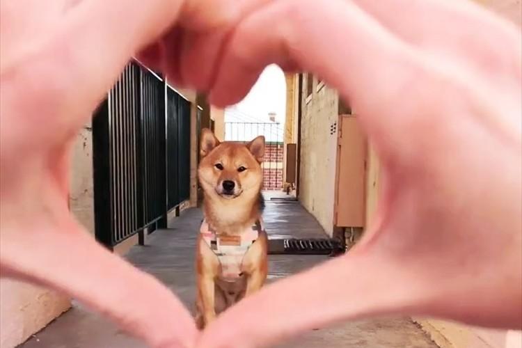【動画】柴犬をハート越しに覗いたら…次の瞬間、とっても可愛いことをした