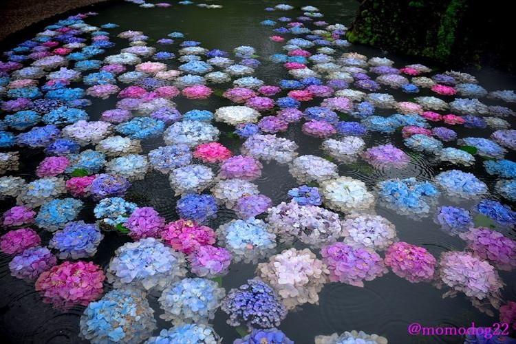 雨と相まって幻想的!久安寺の小さな池に浮かぶ「紫陽花」がめっちゃキレイ