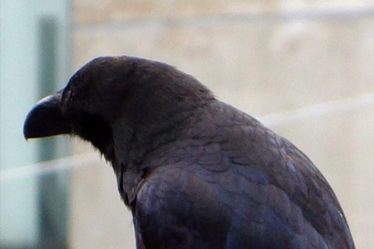 みんな知ってた?カラスは全身黒一色だと思ったら…羽は青色だった!