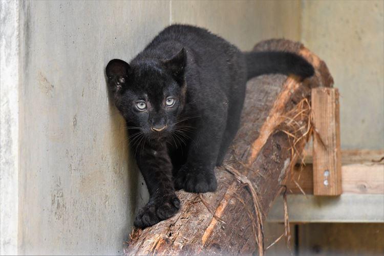 黒猫みたい!浜松市動物園で誕生した「クロヒョウの赤ちゃん」が超かわいい~