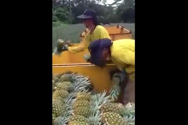 【動画】こりゃ驚いた!パイナップル収穫時の一糸乱れぬ連携プレーが凄すぎる!