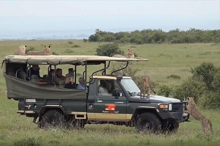 これは大丈夫なのか!?ケニアの国立公園を巡るツアーで5匹のチーターに囲まれる