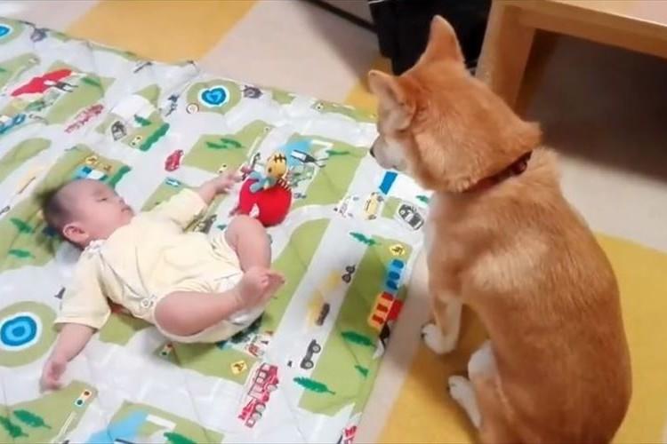 赤ちゃんのおもちゃが欲しいワン~!必死に我慢するワンコがめっちゃカワイイ