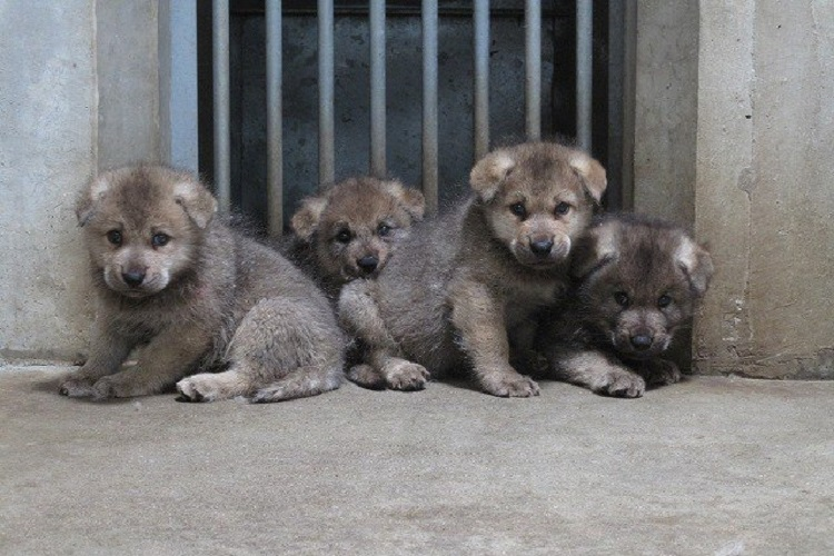 クールなオオカミの赤ちゃんはモッフモフ!公開したばかりの子オオカミが可愛い