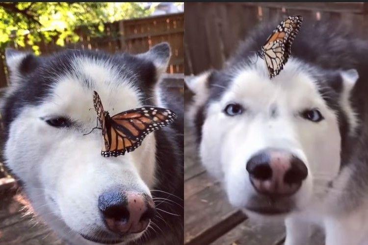 【動画】めっちゃ寄り目になっちゃったよ~!蝶々に弄ばれるハスキー犬が可愛すぎ