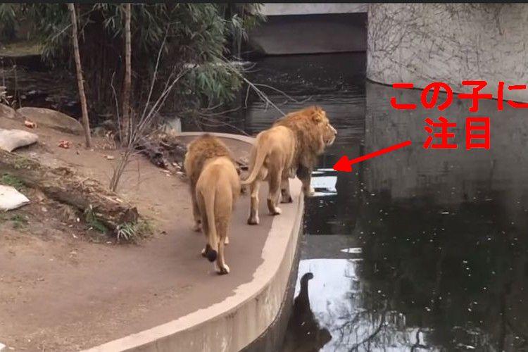 ドジっぷりが超可愛い!よそ見して池に落っこちるライオンがまるで人間みたい