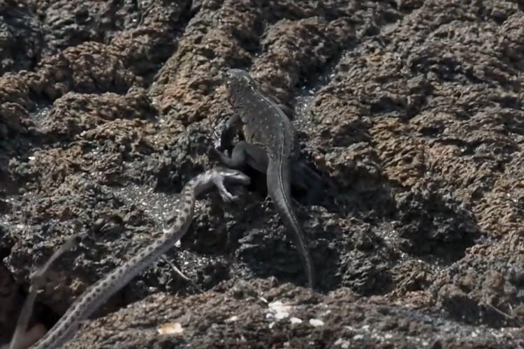 自然界で発生したイグアナの命がけの逃走劇!ヘビの大群から逃げ切れるのか!?