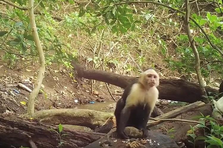 【動画】サルが石を道具として使い、食べ物を砕く光景が撮影されて話題に!