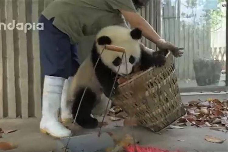 掃除をしようとする飼育員の邪魔をする子パンダたちがやんちゃすぎる!