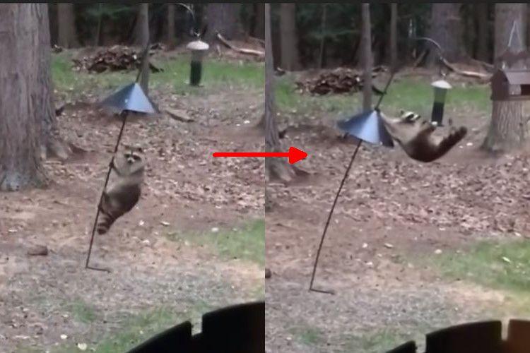 大胆すぎでしょ!アクロバティックな動きで鳥のエサを盗むアライグマ