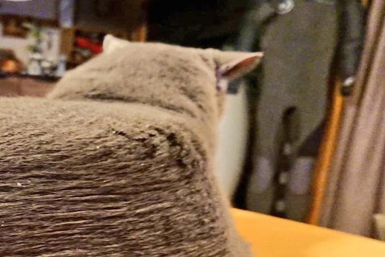 お父さんが猫ちゃんをブラッシングした結果…まさかのエアーズロック型に!