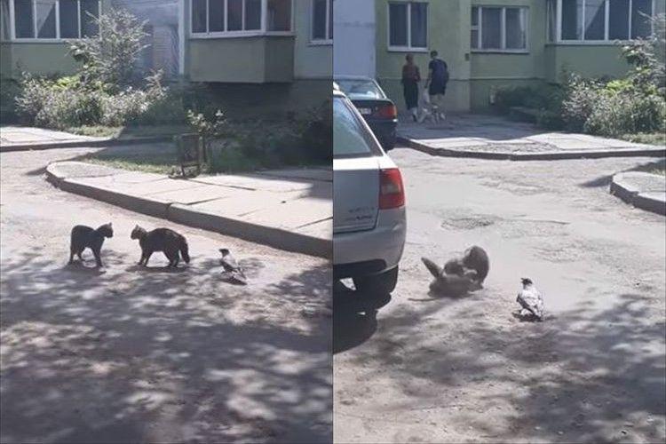 「もうやめなよぉー!」猫ちゃん同士のケンカを止めようとするカラスが話題に