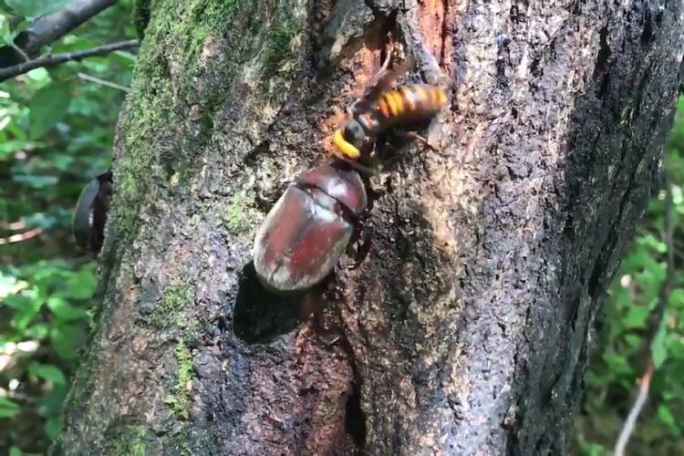昆虫バトル勃発!スズメバチの攻撃に対抗するカブトムシの強さにびっくり