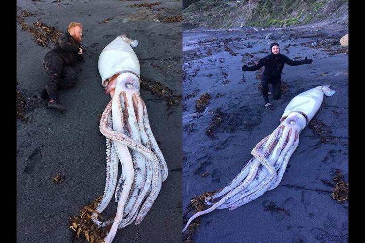 イカっ!デカっ!ニュージーランドの海岸に『巨大イカ』が流れ着く