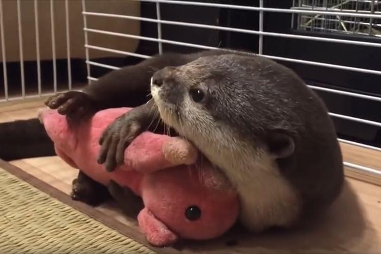 【動画】これで安心して眠れるね♪ ブタのぬいぐるみを抱っこするカワウソが可愛らしい