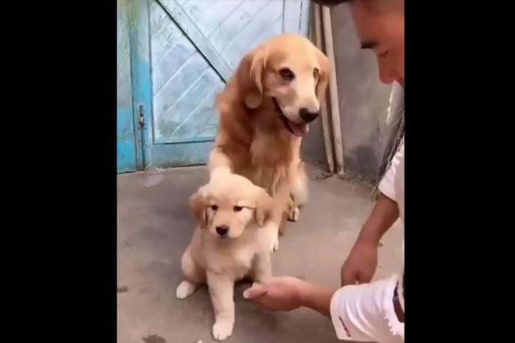 「うちの子に触らないで!」パパ犬が鉄壁のガードで子犬を守る姿が微笑ましい♪