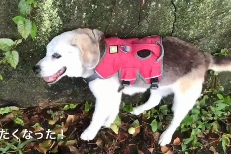 人間の年齢で約100歳!壁伝いに歩くビーグル犬の頑張る姿に勇気をもらう