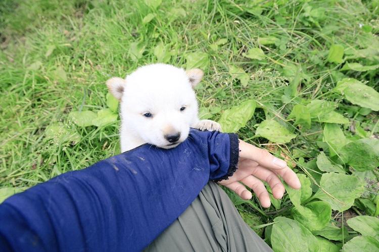 シロクマの赤ちゃんみたい!大自然の中で育つ真っ白なアイヌ犬が可愛い