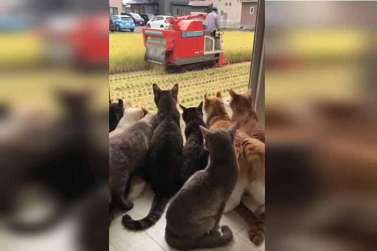 なぜか稲刈りに釘付け…窓辺に集まる猫ちゃんたち、一体何匹いるの!?