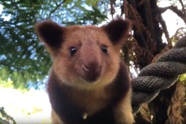 """コアラにも見える!?木に登って暮らす""""キノボリカンガルー""""の赤ちゃんが可愛らしい♪"""