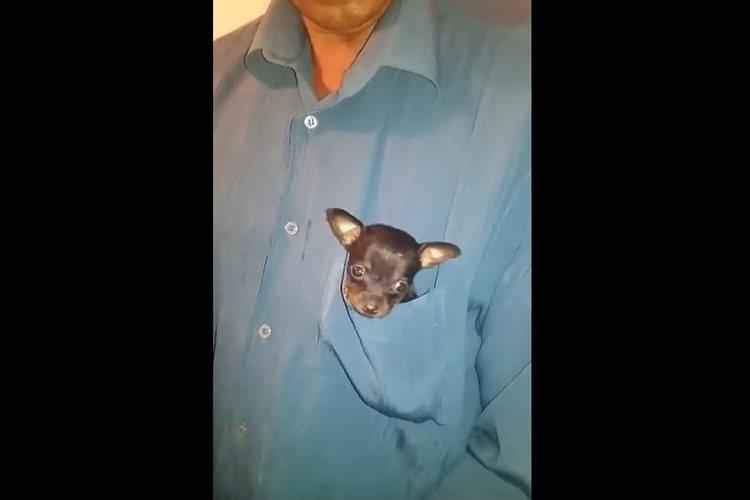 【動画】ちょうどいい大きさ!?胸ポケットにおさまった子犬がとってもキュート♪