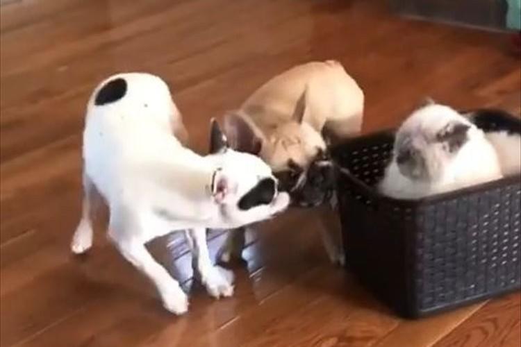 「引っ張って楽しませてくれニャン」猫が入ったカゴを2匹の犬が引っ張る光景が微笑ましい♪