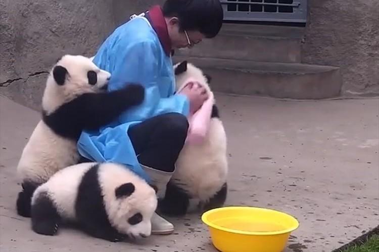 【動画】これはたまらんっ!飼育員にしがみつく甘えん坊のパンダが可愛すぎる♪