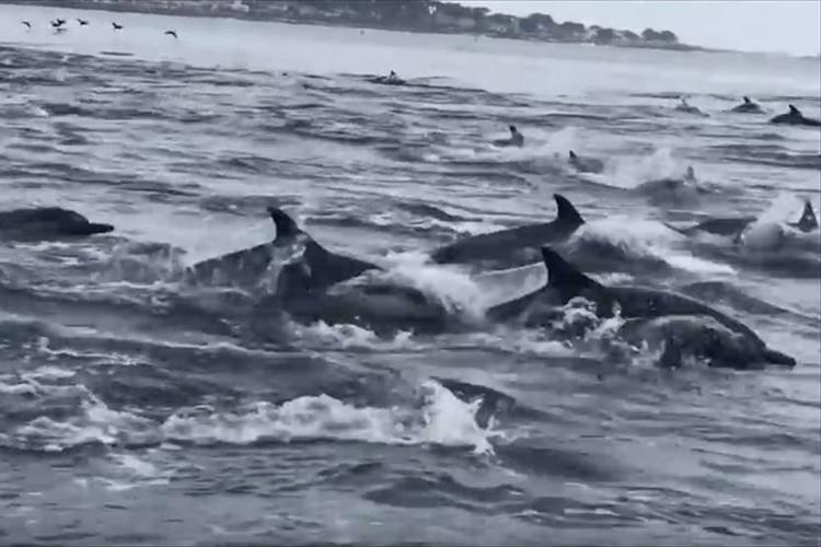 【動画】1000頭を超えるイルカの大群が、ジャンプを繰り返しながら泳ぐ光景が圧巻!