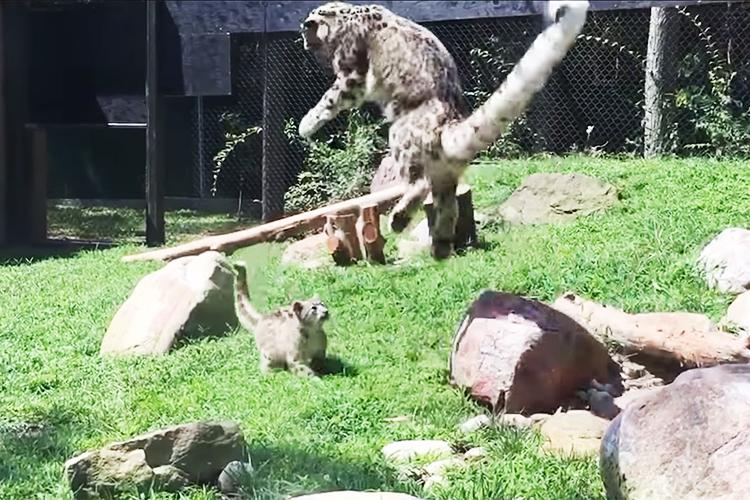 隠れ身の術大成功!?我が子にびっくりしたママヒョウのジャンプ力が凄すぎると話題!