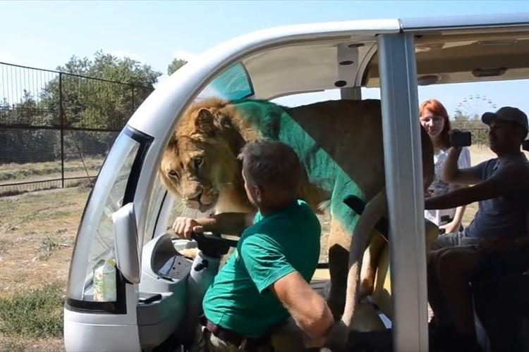 【動画】サファリパークでライオンが車の中に突入!乗客達はどうなった!?