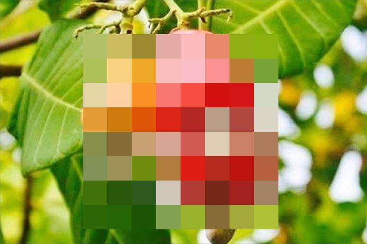 おつまみでお馴染みのカシューナッツ…収穫前はどんな姿形をしているか知っていますか?